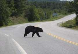 Urs traversand soseaua